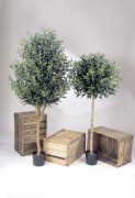 Arbre olive semi naturel