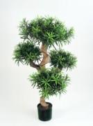 Arbre podocarpus semi naturel
