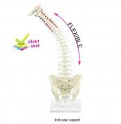 Colonne vertébrale flexible avec hernie discale et bassin - Colonne et bassin flexible