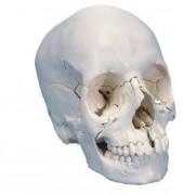 Crâne articulé 22 pièces teinte naturelle - Désarticule en 22 parties osseuses dans leur teinte naturelle