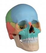 Crâne didactique couleur - En 22 parties aimantées