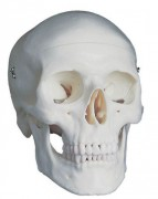 Crâne maquette - Démontable en 3 parties