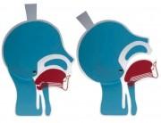 Maquette de tête en coupe - En plastique