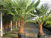 Palmier à chanvre - Importante résistance au froid
