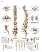 Planche anatomique de la colonne vertébrale - Planche anatomique d'un contenu scientifique exact