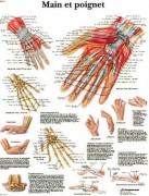 Planche anatomique de la main et du poignet - planche anatomique
