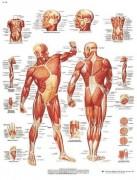 Planche anatomique de la musculature humaine - Idéal pour l'éducation du patient et à la démonstration