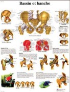 Planche anatomique du bassin et de la hanche - Planche anatomique