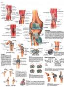 Planche anatomique du genou - Contenu scientifique exact