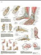 Planche anatomique du Pied et de la cheville - Format compact, couleur brillante