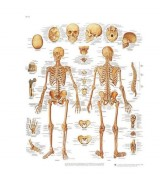 Planche anatomique du squelette humain - Contenu scientifique exact