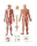 Planche anatomique du système nerveux - Construction robuste, contenu scientifique exact