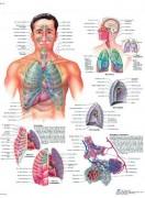 Planche anatomique du système respiratoire - Contenu scientifique exact