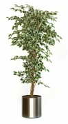 Plante artificielle ficus hawai - Ficus Hawai aux couleurs variées