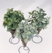 Plante basse Hypoestes - Hauteur : 35 cm