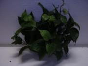 Plante basse philo - Hauteur : 35 cm