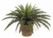 Plante d'extérieur fougere traitées anti-UV