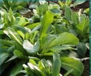 Tapis horticole alyssum THM vivace - Tapis alyssum