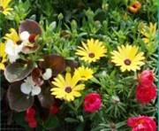 Tapis horticole compo bégonia - Compo bégonia