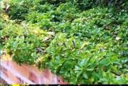 Tapis horticole potentile THM couvre sol - Tapis potentile
