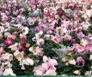 Tapis horticole THM bisannuel 20 variétés - Tapis pensée ton pastel