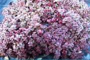 Tapis horticole THM sedum rose - Tapis sedum rose