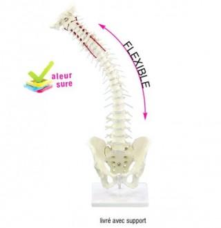 Colonne vertébrale flexible avec hernie discale et bassin - Devis sur Techni-Contact.com - 1