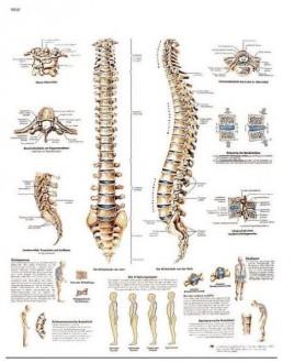 Planche anatomique de la colonne vertébrale - Devis sur Techni-Contact.com - 1