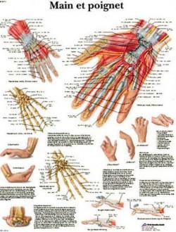 Planche anatomique de la main et du poignet - Devis sur Techni-Contact.com - 1