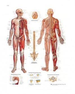 Planche anatomique du système nerveux - Devis sur Techni-Contact.com - 1
