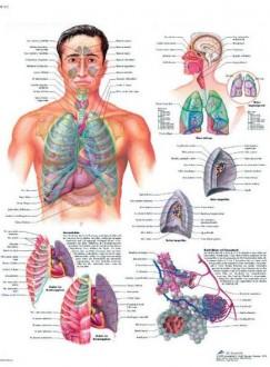 Planche anatomique du système respiratoire - Devis sur Techni-Contact.com - 1