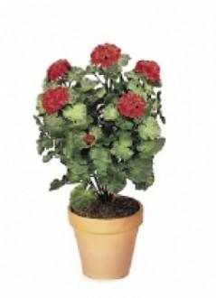 Plante d'extérieur geranium - Devis sur Techni-Contact.com - 1