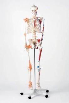 Squelette Norbert insertion et muscles - Devis sur Techni-Contact.com - 1