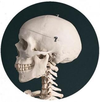 Squelette standard - Devis sur Techni-Contact.com - 2