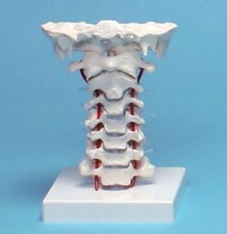 Vertèbres cervicales - Devis sur Techni-Contact.com - 1